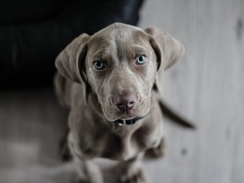 weimaraner-puppy-dog-snout-97082